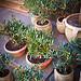 Mini Olive trees, Souvenir from Provence par Ann McLeod Images - L'Isle sur la Sorgue 84800 Vaucluse Provence France