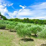 Champ d'oliviers tout vert par ebtokyo - La Tour d'Aigues 84240 Vaucluse Provence France