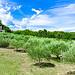 Champ d'oliviers tout vert par gilbertlieval - La Tour d'Aigues 84240 Vaucluse Provence France