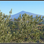 Symboles de la Provence : Olivier et Mont-Ventoux by  - Lafare 84190 Vaucluse Provence France