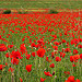 L'invasion des coquelicots by  - Lauris 84360 Vaucluse Provence France