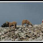 Mouton au sommet du Mont-Ventoux par michel.seguret -   Vaucluse Provence France