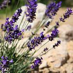 Couleur Lavande : Lavandula Angustifolia 'Imperial Gem' by CouleurLavande.com - Le Thor 84250 Vaucluse Provence France