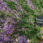 Couleur Lavande - 'Lumiere des Alpes' - Lavandula Angustifolia par CouleurLavande.com - Le Thor 84250 Vaucluse Provence France