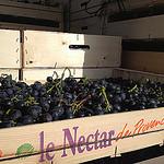Le Nectar de Provence : le muscat by gab113 - Méthamis 84570 Vaucluse Provence France