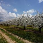 Vaucluse : cerisiers en fleurs par gab113 -   Vaucluse Provence France
