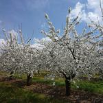 cerisiers en fleurs par gab113 -   Vaucluse Provence France