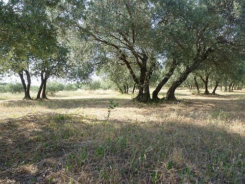 Champs de vieux oliviers par gab113