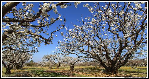 A l'Ombre des Cerisiers par Photo-Provence-Passion