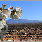 Dans l'ordre : cerisier, vigne et Mont-Ventoux by  - Hyres  Vaucluse Provence France