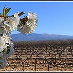 Dans l'ordre : cerisier, vigne et Mont-Ventoux par Photo-Provence-Passion -   Vaucluse Provence France