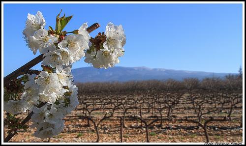 Dans l'ordre : cerisier, vigne et Mont-Ventoux by Photo-Provence-Passion