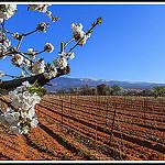 Contraste des Couleurs entre cerisier et la terre rouge des vignes par Photo-Provence-Passion -   Vaucluse Provence France