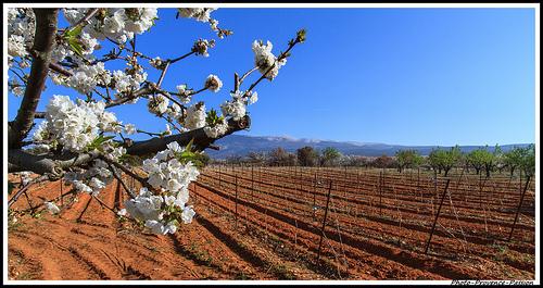 Contraste des Couleurs entre cerisier et la terre rouge des vignes par Photo-Provence-Passion