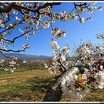 Le Mont Ventoux au milieu des fleurs de cerisiers by Photo-Provence-Passion -   Vaucluse Provence France