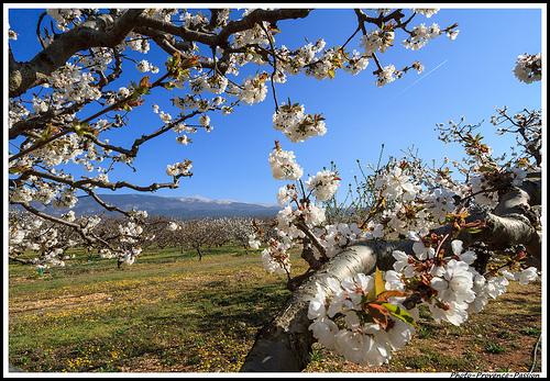 Le Mont Ventoux au milieu des fleurs de cerisiers by Photo-Provence-Passion