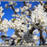 Branches de Cerisiers en fleurs by Photo-Provence-Passion -   Vaucluse Provence France