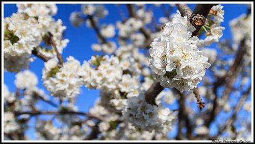 Branches de Cerisiers en fleurs par Photo-Provence-Passion