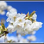 Fleurs de Cerisiers par Photo-Provence-Passion -   Vaucluse Provence France