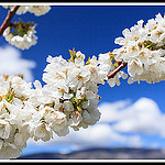 Branche de Cerisiers en Fleurs by Photo-Provence-Passion -   Vaucluse Provence France