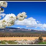 Fleurs de Cerisiers au pied du Mont Ventoux by Photo-Provence-Passion -   Vaucluse Provence France