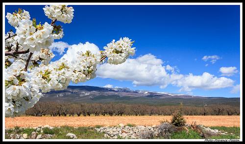 Fleurs de Cerisiers au pied du Mont Ventoux par Photo-Provence-Passion