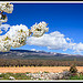 Fleurs de Cerisiers au pied du Mont Ventoux par  - Bdoin  Vaucluse Provence France