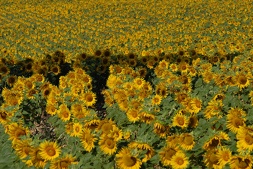 Tournesols en Haute-Provence by Michel Seguret