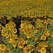 Tournesols en Haute-Provence by Michel Seguret - Manosque 04100 Vaucluse Provence France