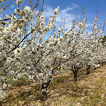 Cerisiers en fleurs dans le Vaucluse by gab113 - Méthamis 84570 Vaucluse Provence France