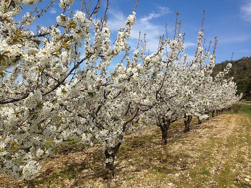 Cerisiers en fleurs dans le Vaucluse by gab113