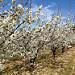 Cerisiers en fleurs dans le Vaucluse par gab113 - Méthamis 84570 Vaucluse Provence France