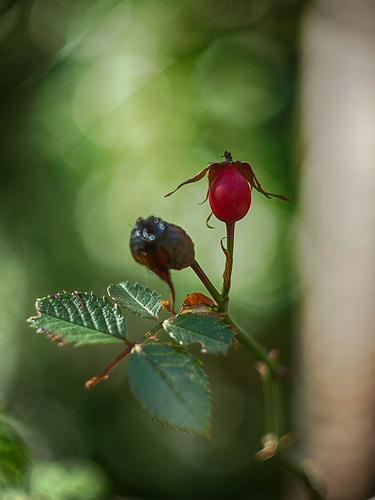 Photo du fruit de l'églantier par Cpt_Love
