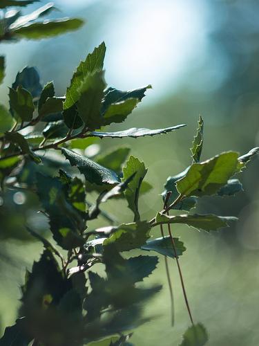 Feuilles de chêne vert par Cpt_Love