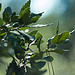 Feuilles de chêne vert by Cpt_Love - Modène 84330 Vaucluse Provence France