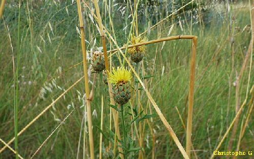 Centaurées jaunes  par Patrimoines du Sud de la France