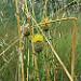 Centaurées jaunes  par Patrimoines du Sud de la France - Morieres les Avignon 84310 Vaucluse Provence France