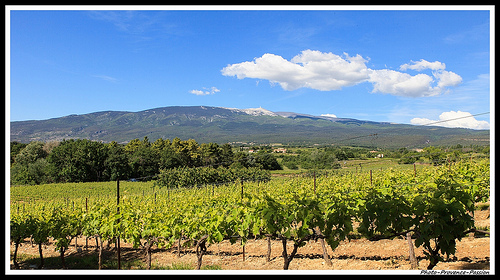 Le Mont Ventoux : vignes du ventoux by Photo-Provence-Passion