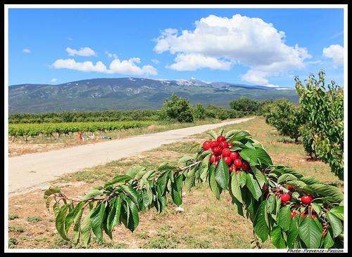 Cerises très rouges et Mont Ventoux par Photo-Provence-Passion