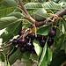 Cerises tardives non ramasées par les agriculteurs par gab113 - Mormoiron 84570 Vaucluse Provence France