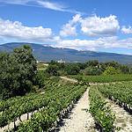 Champs de vigne à Mormoiron au pied du Ventoux par gab113 - Mormoiron 84570 Vaucluse Provence France
