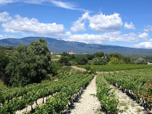Champs de vigne à Mormoiron au pied du Ventoux par gab113