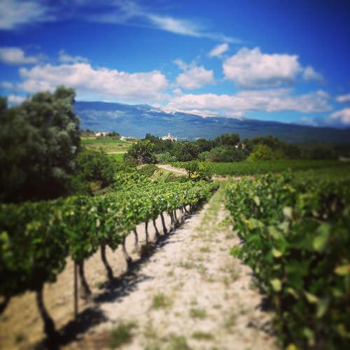 Vigne à Mormoiron : le Ventoux surveille la pousse de la vigne by gab113
