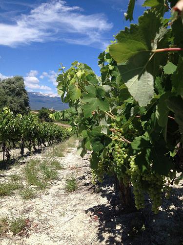 Le raisin tout vert et le Mont-Ventoux en fond par gab113