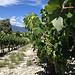 Le raisin tout vert et le Mont-Ventoux en fond par gab113 - Mormoiron 84570 Vaucluse Provence France