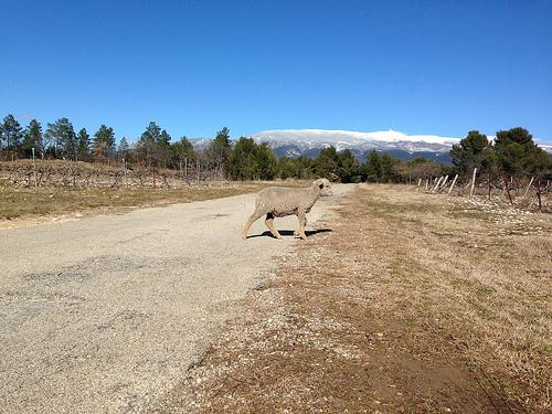 Moutons en liberté aux pieds du Ventoux par gab113