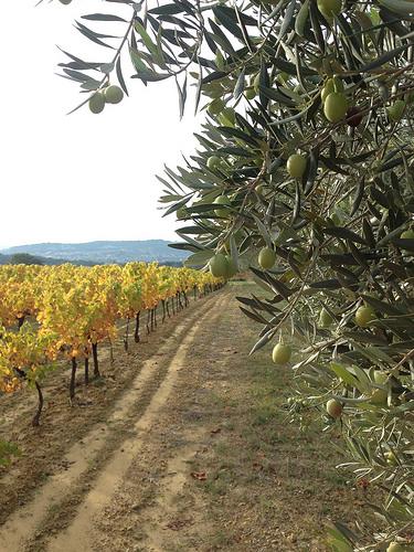 Automne en provence : la vigne jaunit et les olives ramollissent ! par gab113