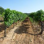 Vigne du ventoux by gab113 - Mormoiron 84570 Vaucluse Provence France