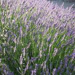 Bain de Lavande  by gab113 - Mormoiron 84570 Vaucluse Provence France