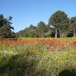 Prairie luxuriante avec des Coquelicots par gab113 - Mormoiron 84570 Vaucluse Provence France
